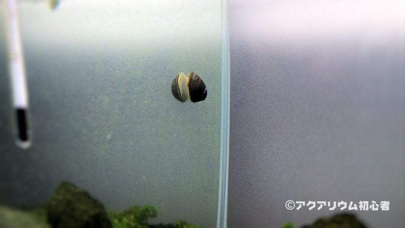 フネアマ貝はコケ取り貝の中で最高クラス!