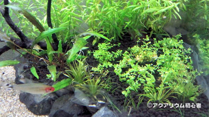 ニューラージパールグラスの植栽