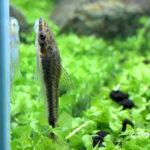 オトシンクルス 水槽立ち上げ初期に発生する珪藻を食べてくれる熱帯魚