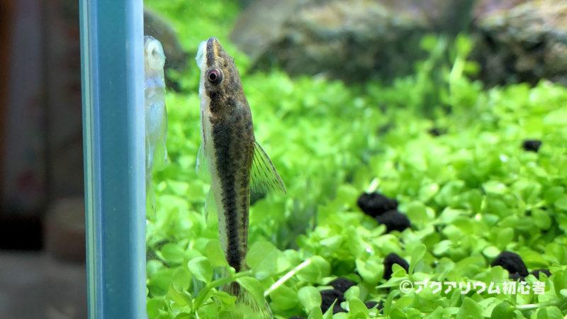 オトシンクルスの飼育方法!水温・餌・混泳・大きさや飼い方で注意する点!
