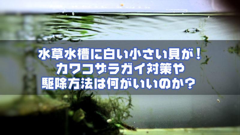 水草水槽に白い小さい貝が!カワコザラガイ対策や駆除方法は何がいいのか?