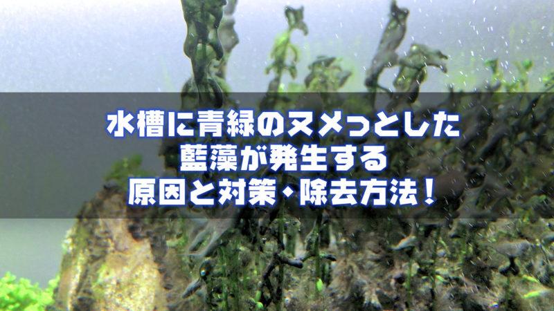 水槽に青緑のヌメっとした藍藻(シアノバクテリア)が発生する原因と対策・除去方法!
