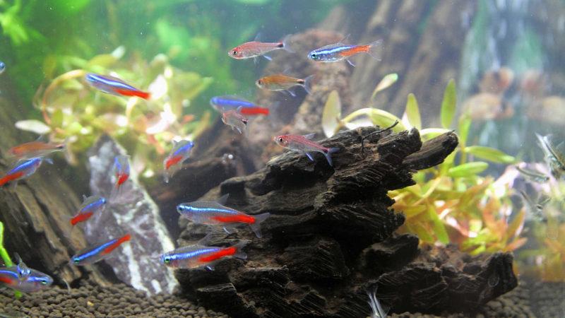 ネオンテトラと他魚の混泳について