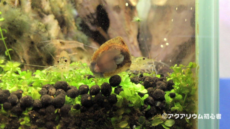 コウモリカノコ貝の卵